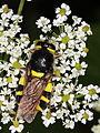 Stratiomys chamaeleon (Diptera- Stratiomyidae), ♀ (7614191592).jpg