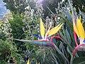Strelitzia reginae - Mandela's Gold (1).jpg