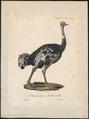 Struthio camelus - 1825-1834 - Print - Iconographia Zoologica - Special Collections University of Amsterdam - UBA01 IZ18900009.tif
