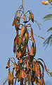 Subabool (Leucaena leucocephala) dried pods in Kolkata W IMG 4301.jpg