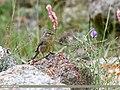 Sulphur-bellied Warbler (Phylloscopus griseolus) (35988903230).jpg