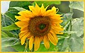 Summer Sunflower (114355621).jpeg