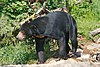 Sun Bear on the Move.jpg