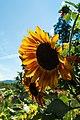 Sunflower in garden (21544523888).jpg