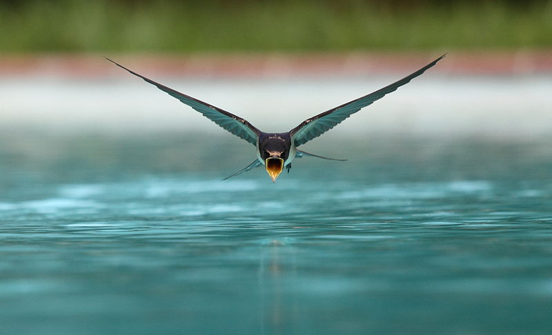 File:Swallow flying drinking.jpg