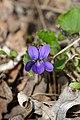 Sweet Violet (Viola odorata) - Kitchener, Ontario.jpg
