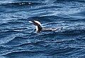Synthliboramphus wumizusume -Japan-8.jpg