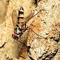 Tachinid Fly - Flickr - treegrow (5).jpg