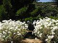 Tanacetum ptarmiciflorum 'Silver Feather' 1.JPG
