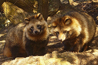 "PETA satirical browser games - In Super Mario Bros. 3, Mario can wear an item called the ""Tanooki Suit"" – the skin of a tanuki (raccoon dog) similar to those shown here. PETA created Mario Kills Tanooki to draw attention to the real-life killing of raccoon dogs for their fur."