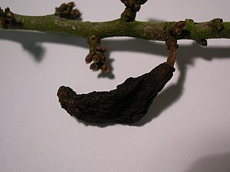 Prunus spinosa - Pocket plum gall on blackthorn, caused by the fungus Taphrina pruni