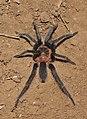 Tarantula (15496472120).jpg