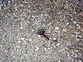 Tarantula hawk dragging a taratula..JPG