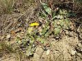 Taraxacum serotinum sl72.jpg