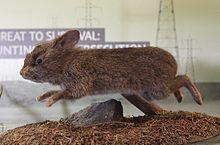 Volcano rabbit - Wikipedia