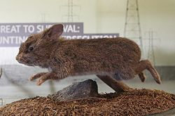 Taxidermied romerolagus diazi.JPG