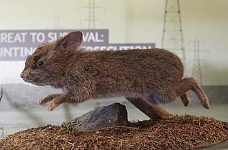 Volcano rabbit - A taxidermied volcano rabbit