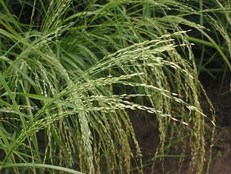 Teff - Image: Teff pluim Eragrostis tef