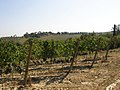 Tempranillo vineyards in Tuscany.jpg