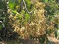 Terminalia paniculata - Kindal Tree fruits at Blathur 2017 (10).jpg