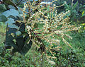 Terminalia paniculata flowers 01.jpg