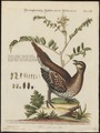 Tetrao phasianellus - 1700-1880 - Print - Iconographia Zoologica - Special Collections University of Amsterdam - UBA01 IZ17100365.tif