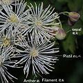 Thalictrum aquilegiifolium var. intermedium (flower with note).JPG