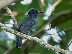 Thamnophilus divisorius - Acre Antshrike (male), Serra do Divisor National Park, Acre, Brazil.jpg