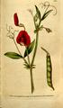 The Botanical Magazine, Plate 100 (Volume 3, 1790).png