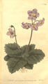 The Botanical Magazine, Plate 236 (Volume 7, 1794).png