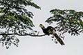 The Oriental pied hornbill.jpg