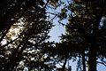 The Pines of McLaren (2767135504).jpg