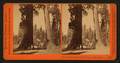 The Sentinels, Mammoth Grove, Calaveras Co., Cal, by Watkins, Carleton E., 1829-1916 2.png