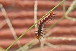 The caterpillar or larve of Tawny Coster (হরিনছড়া) ((Acraea terpsicore)) WLB DSC 0006.jpg