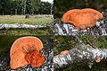The habitat and some details of some Pycnoporus cinnabarinus (Cinnabar Bracket, D= Zinnobertramete, NL= Vermiljoenhoutzwam) at a Birchtree at Deelerwoud - panoramio.jpg