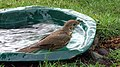 The song thrush in the bath 01(js).jpg