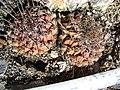 Thelocactus conothelos (5762009326).jpg