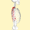 Thoracic vertebrae lateral2.png