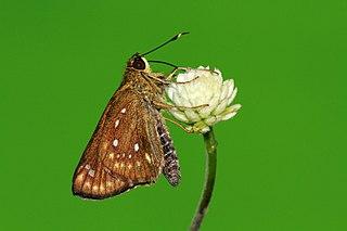 <i>Thoressa astigmata</i> species of insect
