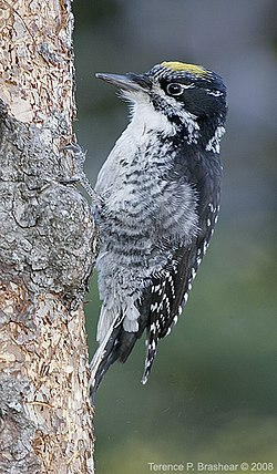 Three Toed Woodpecker (5036635537).jpg