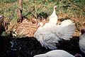 Three white turkeys.jpg