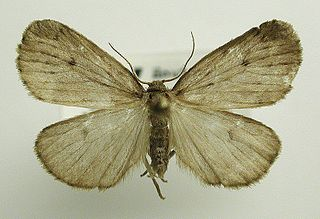 <i>Thumatha</i> Genus of moths