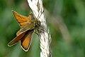Thymelicus.lineola.-.lindsey.jpg