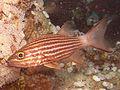 Tiger Cardinalfish.jpg