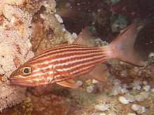 Tiger Cardinalfish.jpg