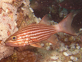 Description de l'image  Tiger Cardinalfish.jpg.