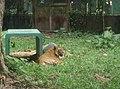Tigers in Zoo Negara Malaysia (27).jpg