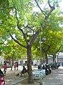Tipuana de la plaça del Nord P1510457.jpg