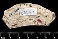 Tipula (Platytipula) anatolica holotype MNHN.F.A38734 direct lighting whole.jpg