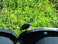 TnT Corbeau (Coragyps atratus).jpg